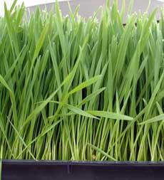 Propiedades del germinado de trigo