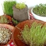 Propiedades del Germinado de Trigo (Wheat-Grass)