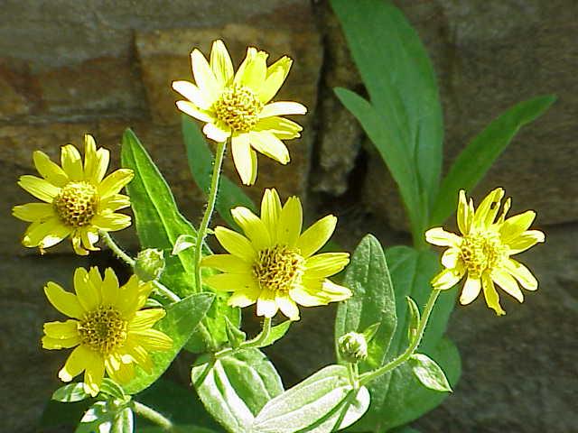 Árnica como planta medicinal