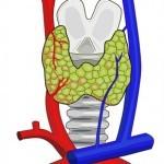 La Glándula Tiroides: funciones, Hipotiroidismo e Hipertiroidismo