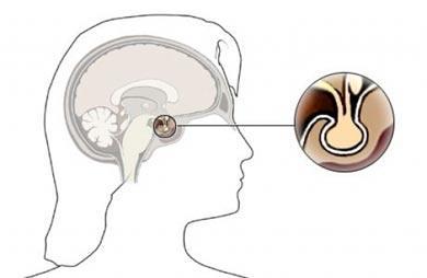 La Extraordinaria Glándula Pituitaria o hipófisis