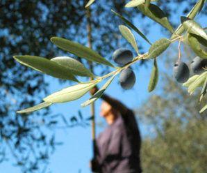 Flores de bach: olivo
