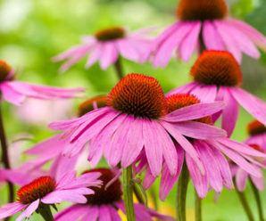 Remedios florales del Dr. Bach. Equinacea
