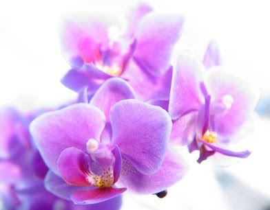 Phalaenopsis. Flores de Bach para las Alergias: Beech