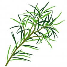 Botiquín Natural Parte 1: Tea Tree (Árbol del Té)